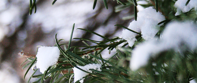 Snow-Pine-Tree